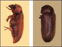 Beetle Control CT