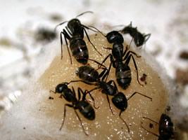 Carpenter Ant CT Winter